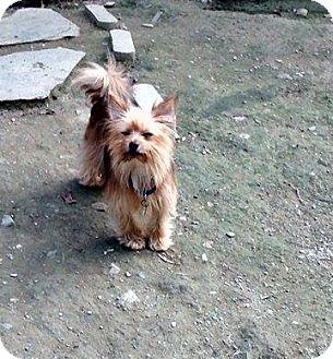 Yorkie, Yorkshire Terrier/Pomeranian Mix Dog for adoption in Springfield, Vermont - Rex