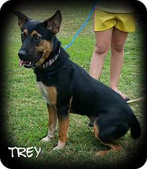 German Shepherd Dog/Labrador Retriever Mix Dog for adoption in Haggerstown, Maryland - Trey