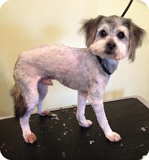 Yorkie, Yorkshire Terrier/Poodle (Miniature) Mix Dog for adoption in Dover, Tennessee - Baxter