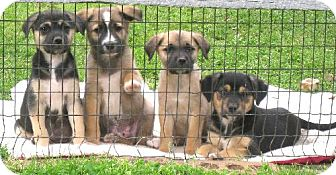 Shepherd (Unknown Type) Mix Puppy for adoption in Rockville, Maryland - Samantha, Roxy, and Badger