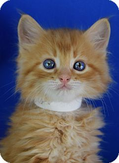 Domestic Mediumhair Kitten for adoption in Carencro, Louisiana - Cash