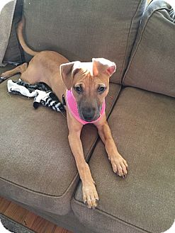 Boxer/Pit Bull Terrier Mix Puppy for adoption in Newtown, Connecticut - Harley