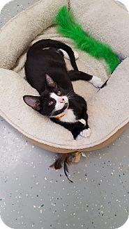 Domestic Shorthair Kitten for adoption in Danville, Indiana - Batman