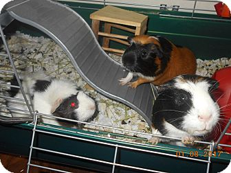 Guinea Pig for adoption in haslet, Texas - female guinea pigs