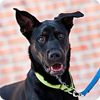 Adopt A Pet :: Dane - Houston, TX