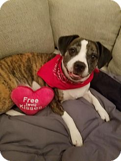 Beagle/Boxer Mix Dog for adoption in Midland, Michigan - Jenga - NO FEE - Foster Home