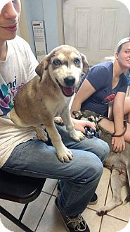 Husky/Catahoula Leopard Dog Mix Puppy for adoption in Hammond, Louisiana - Frost