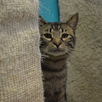 Domestic Shorthair Cat for adoption in House Springs, Missouri - Athos