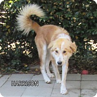 Adopt A Pet :: Harrison - Lindsay, CA