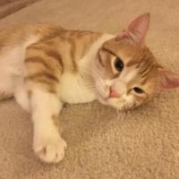Adopt A Pet :: Boomerang - Garland, TX
