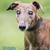 Adopt A Pet :: Elizabeth - Dallas, TX