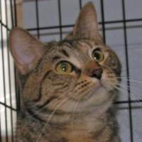 Domestic Shorthair/Domestic Shorthair Mix Cat for adoption in Tilton, Illinois - Cassie