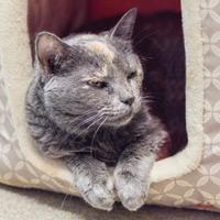 Adopt A Pet :: TIGER - Palm Coast, FL