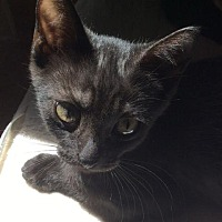 Adopt A Pet :: John Laurens - Maywood, IL