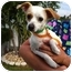 Photo 2 - Chihuahua/Jack Russell Terrier Mix Dog for adoption in Homestead, Florida - October