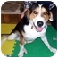 Photo 4 - Greater Swiss Mountain Dog Mix Dog for adoption in Floyd, Virginia - Beau
