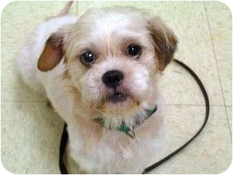 Lhasa Apso Mix Dog for adoption in Norwalk, Connecticut - Snickers