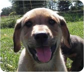 Golden Retriever/Sheltie, Shetland Sheepdog Mix Puppy for adoption in Salem, New Hampshire - Gandolf