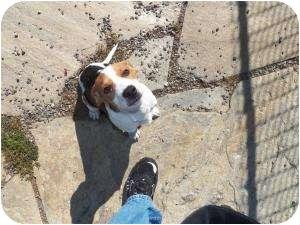 Treeing Walker Coonhound Mix Puppy for adoption in Burnsville, North Carolina - Spencer
