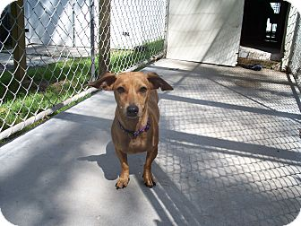 Dachshund/Chihuahua Mix Dog for adoption in manville, New Jersey - Robin