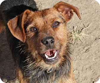 Terrier (Unknown Type, Medium) Mix Dog for adoption in kennebunkport, Maine - Scruffy - PENDING, in Maine!