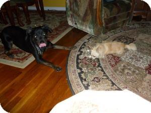 Rottweiler/Retriever (Unknown Type) Mix Dog for adoption in Rockaway, New Jersey - **Poochie**
