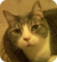 Domestic Shorthair Cat for adoption in Medford, Massachusetts - Timmy