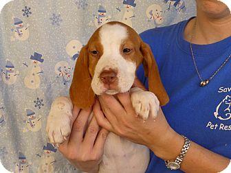 Beagle Mix Puppy for adoption in Oviedo, Florida - Alex