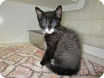 Domestic Mediumhair Kitten for adoption in Bradenton, Florida - Rebel