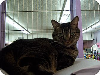 Domestic Shorthair Cat for adoption in Whittier, California - Mandy