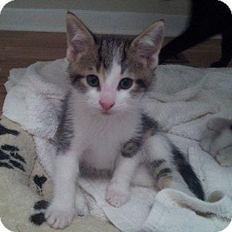 Domestic Shorthair Kitten for adoption in Toronto, Ontario - Bernie
