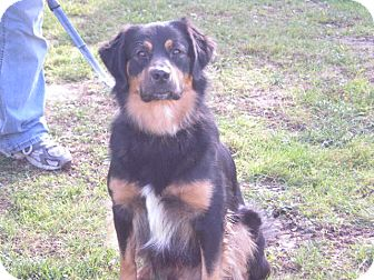 "Spaniel (Unknown Type) Mix Dog for adoption in New Castle, Pennsylvania - "" Reggie """