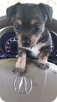 Chihuahua/Terrier (Unknown Type, Medium) Mix Puppy for adoption in Miami, Florida - Bella