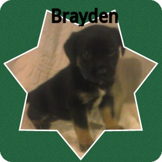 Border Collie Mix Puppy for adoption in Coats, North Carolina - Brayden