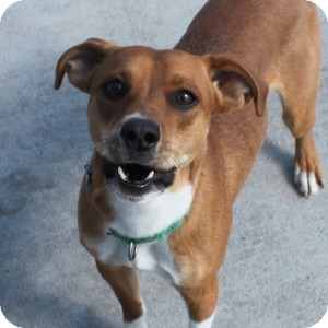 Whippet Mix Dog for adoption in Naperville, Illinois - Rosco