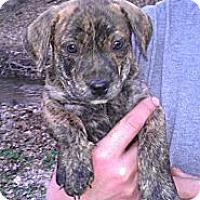 Adopt A Pet :: Precious - Roaring Spring, PA