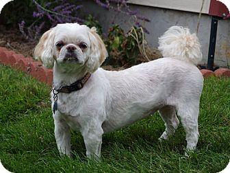 Shih Tzu Dog for adoption in Greeley, Colorado - Ada