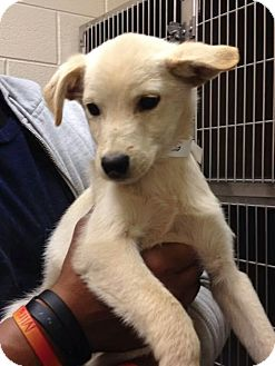 Labrador Retriever/Golden Retriever Mix Puppy for adoption in Forest Hill, Maryland - Larry