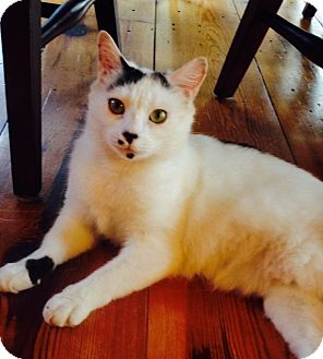 Domestic Shorthair Cat for adoption in Spartanburg, South Carolina - Brooklyn - Adoption Pending