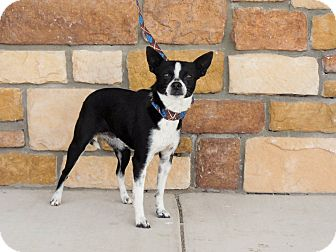 Chihuahua Mix Dog for adoption in Artesia, New Mexico - Tilly