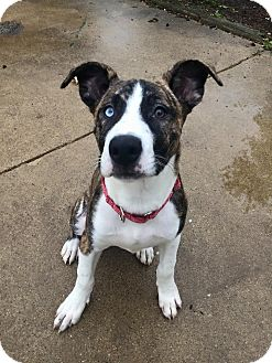 Husky/Shepherd (Unknown Type) Mix Puppy for adoption in Warrenville, Illinois - Reese