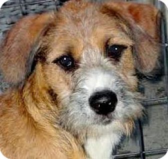 Poodle (Miniature)/Shepherd (Unknown Type) Mix Puppy for adoption in Winchester, Kentucky - MONA(CALM-GENTLE PUPPY!!
