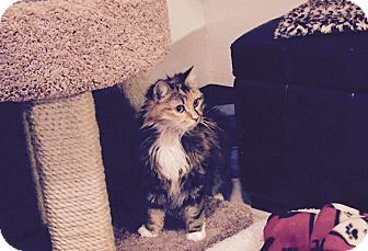 Domestic Longhair Cat for adoption in FORT WORTH, Texas - Little Red