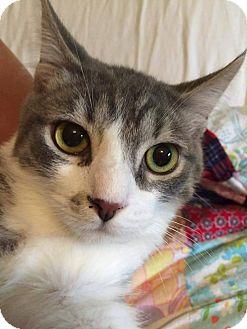 Domestic Shorthair Cat for adoption in Putnam, Connecticut - Blynken