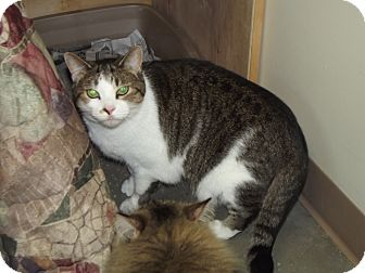 Domestic Shorthair Cat for adoption in Cheboygan, Michigan - Milie