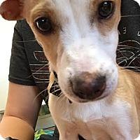 Adopt A Pet :: Dobby - Tallahassee, FL