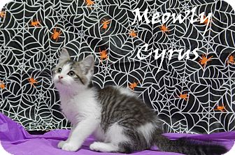 Domestic Mediumhair Kitten for adoption in Bucyrus, Ohio - Meowly Cyrus