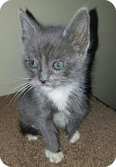Domestic Mediumhair Kitten for adoption in San Dimas, California - Toby