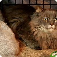 Adopt A Pet :: nikki is a bobtail main coon - brewerton, NY