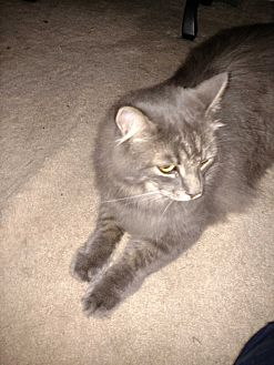 Domestic Longhair Cat for adoption in Covington, Pennsylvania - Bailey